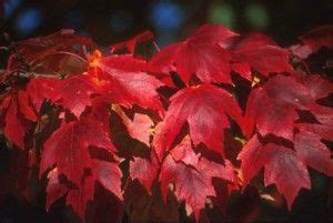10 of the Fastest Growing Shade Trees | Fast growing shade