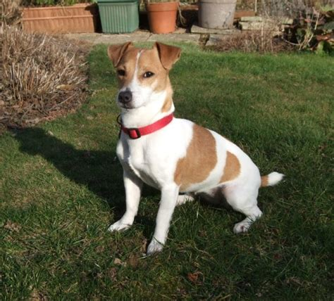 Mandy - 2 year old female Jack Russell Terrier available