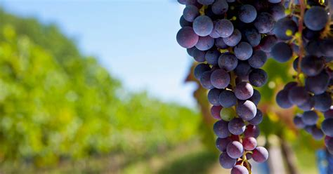 Traces of 5,000 year old grapes from world's first
