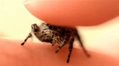 Jumping Spider GIFs | Tenor