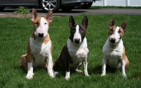 English Bull Terrier Wallpapers - Wallpaper Cave
