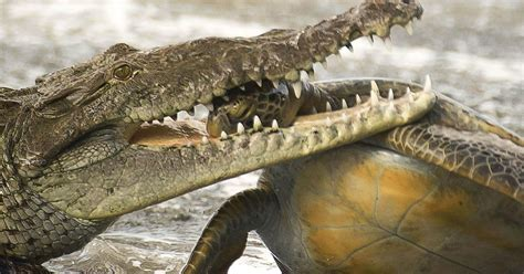 See jaw dropping moment a crocodile snaps up unlucky